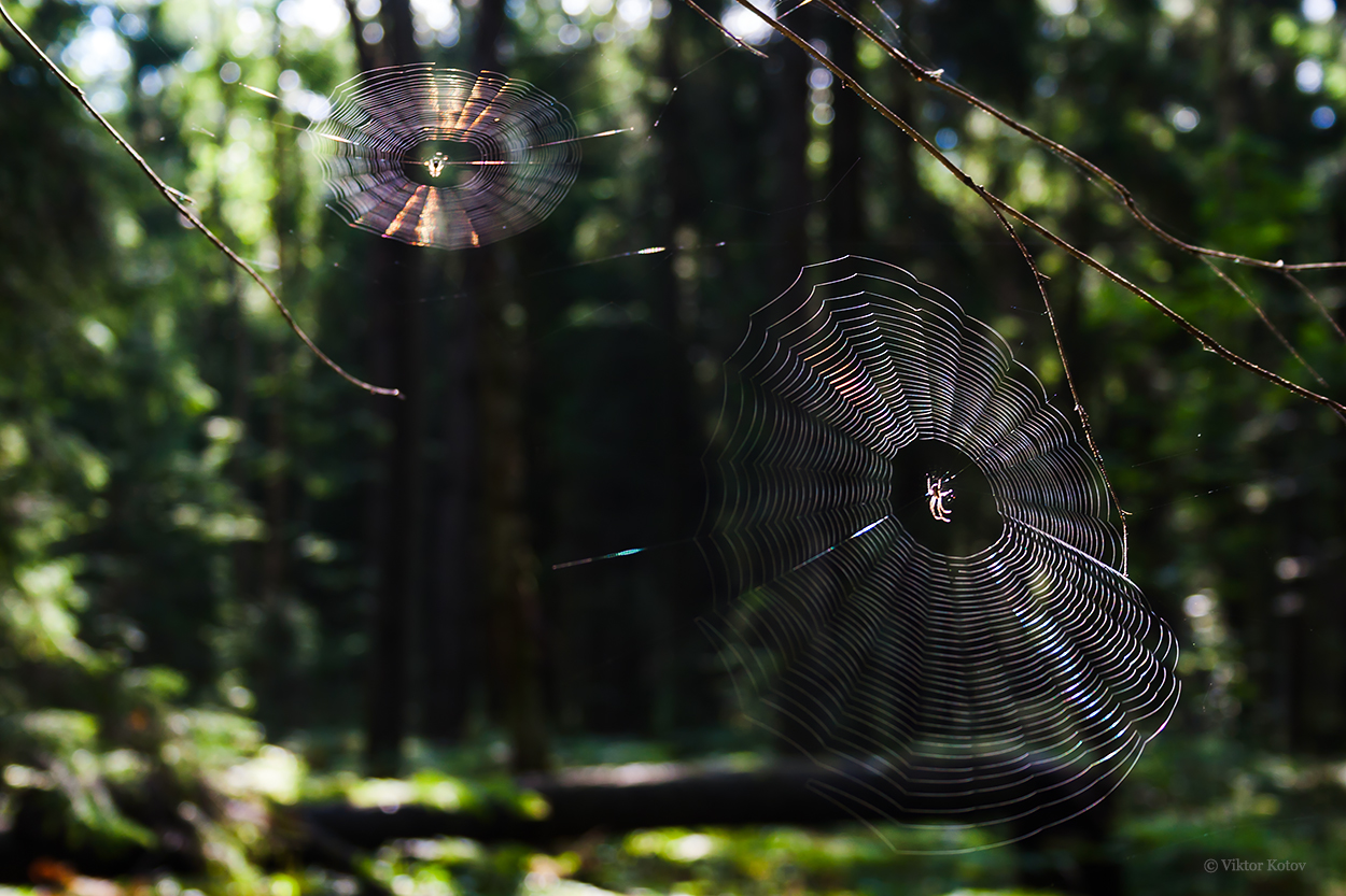 forest-spiderweb-sun