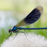 calopteryx-splendens-male