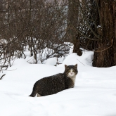 cat-saint-petersburg-winter3