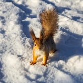 sciurus-vulgaris-winter