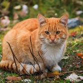 cherepovets-red-headed-cat