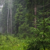 rain-forest-spruce